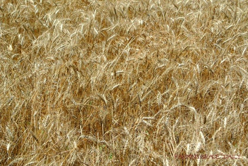 wheat 2015