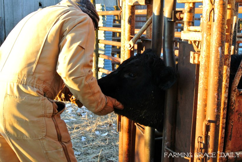 cattle farming ranching