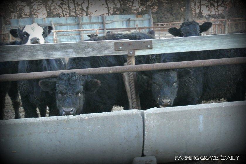 cattle feeding morning farm