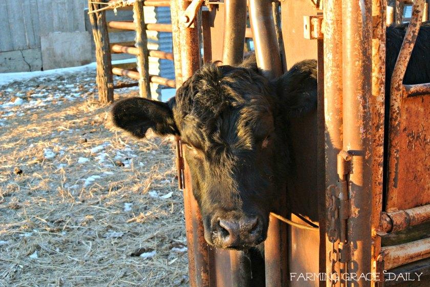 Livestock Calf Cattle 2016
