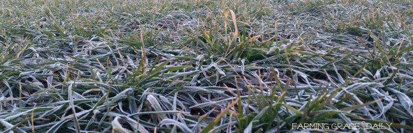 notill wheat field 2016 Jan
