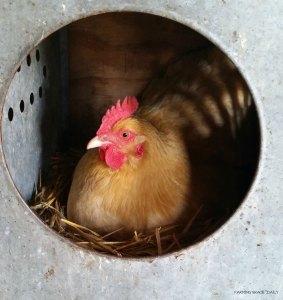 chicken Hen fgd