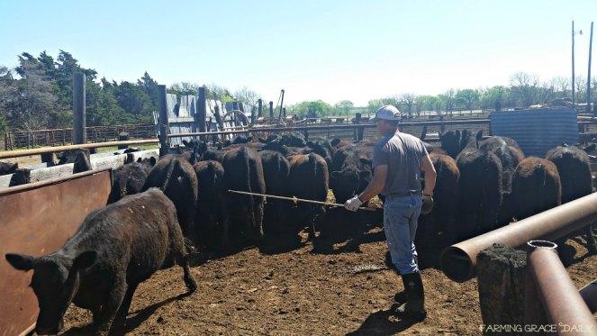 cattle livestock farm