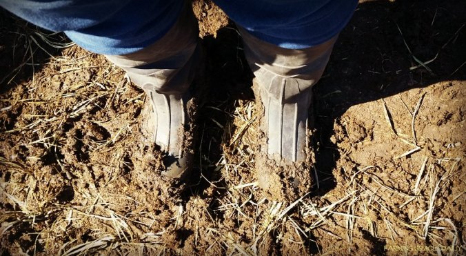 manure cattle boots