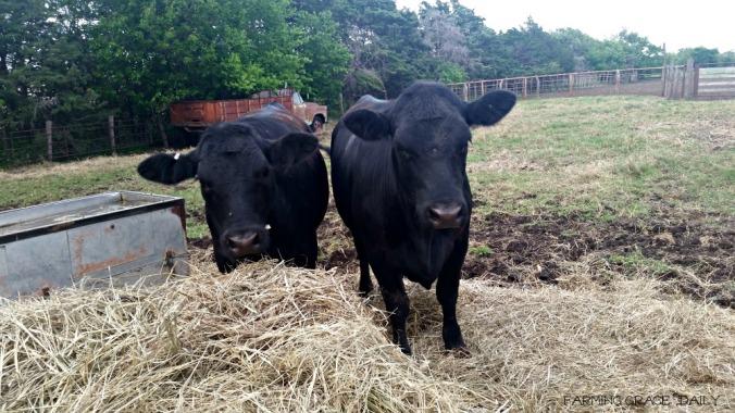 100+ Homemade Cattle Oilers – yasminroohi