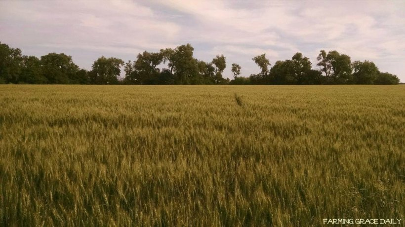 Wheat May 19, 2016 2
