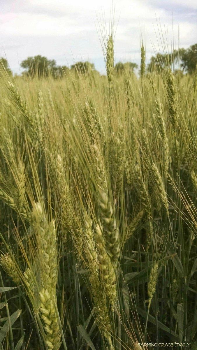 Wheat May 19, 2016