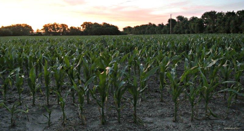 corn east of farm 662016