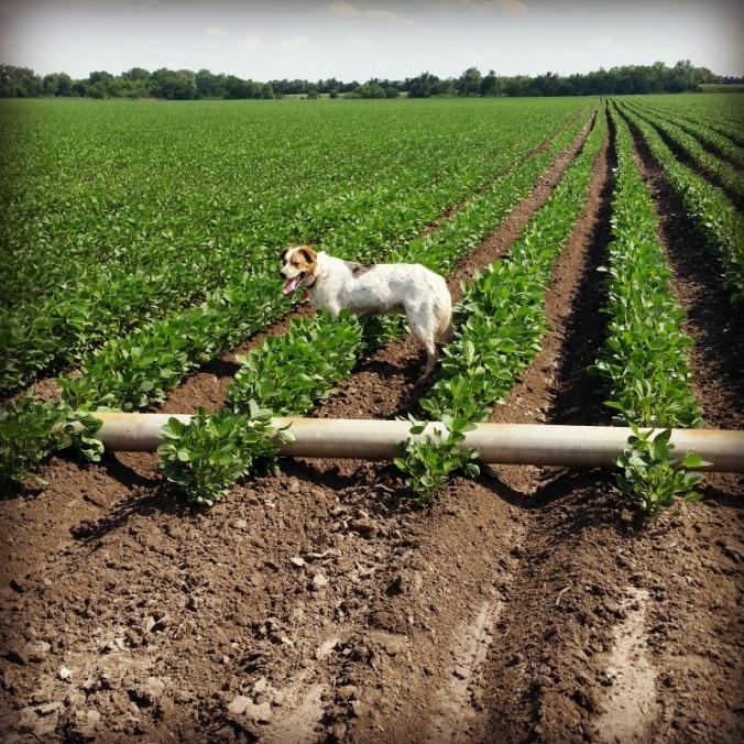 farm dog soybeans