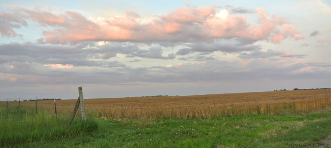 Kansas wheat wide open spaces