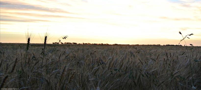 Sunrise June Kansas Farm
