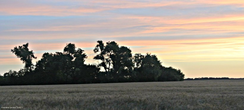 wheat sunrise
