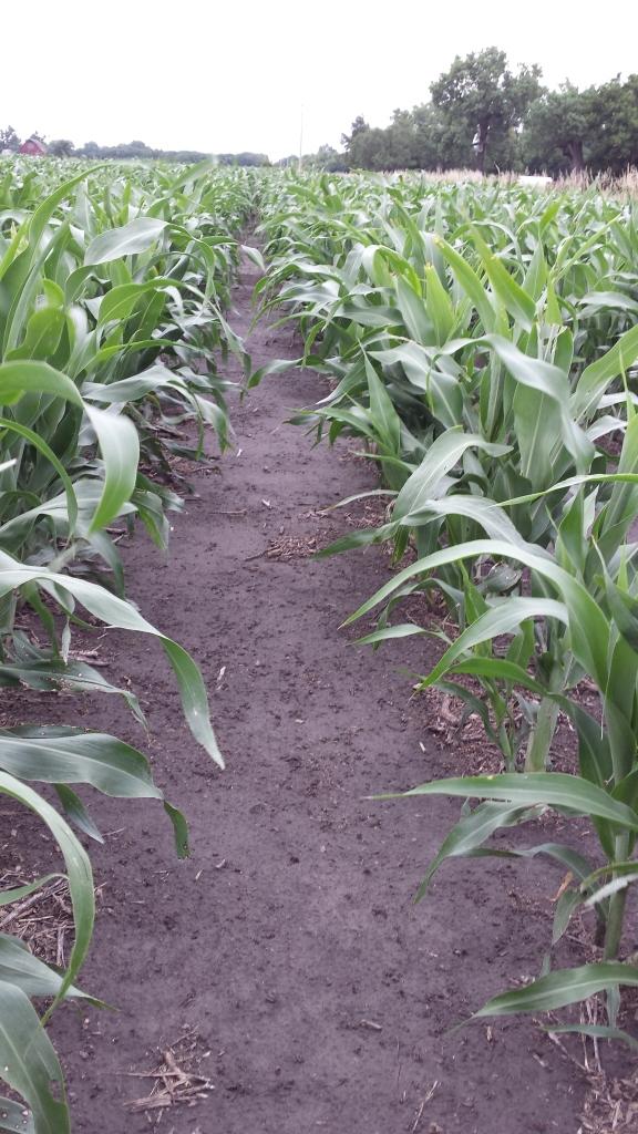 Grain Sorghum Milo