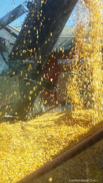 corn-ni-2016-harvest-farming