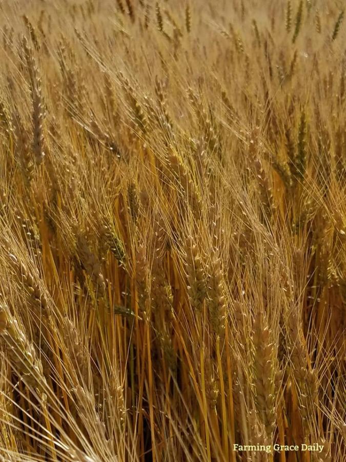 Wheat Farver 2017 June