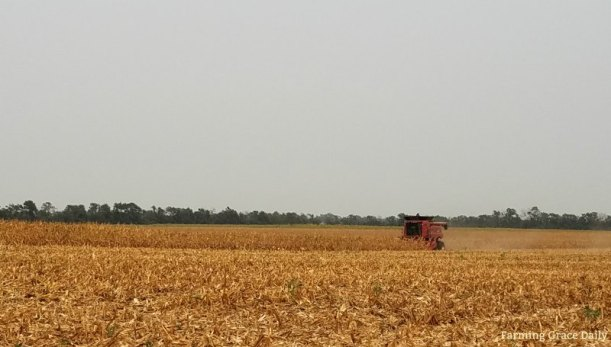 corn harvest day 1 2017