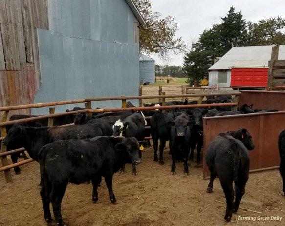 feeder cattle 2017
