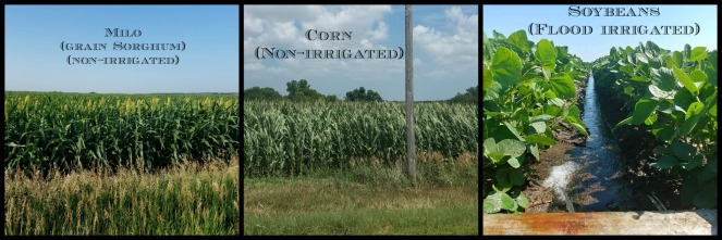 Fall Crops corn milo soybeans