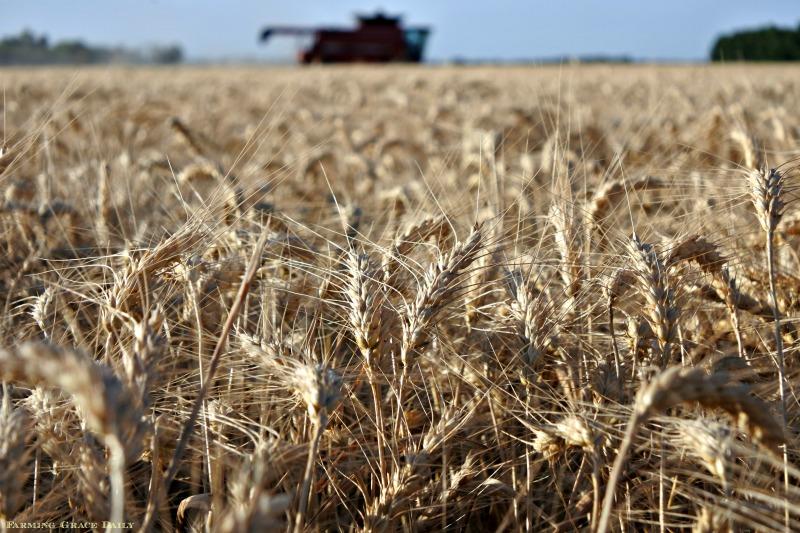 Kansas wheat harvest 2018 case ih combine