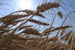 Wheat 2018