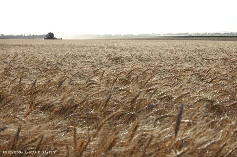 Wheat harvest 2018 Kansas Irrigated