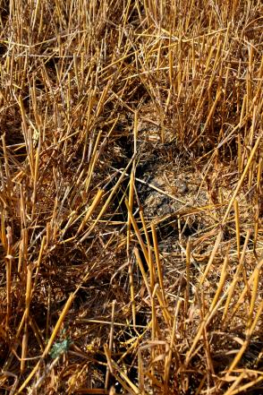 wheat stubble crack dirt.png