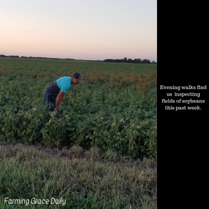 Evening walks find us inspecting fields of soybeans this past week.